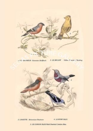 Eurasian Bullfinch, Yellow-Breasted Bunting, Bohemian Chatterer, , Red-Cheeked Cordon-Bleu